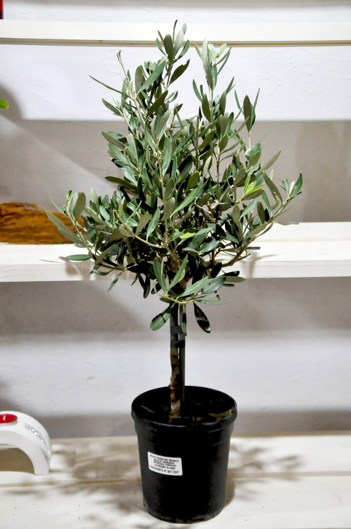 Выращивание оливкового дерева из веточки 76