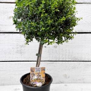Миртовое дерево купить минск