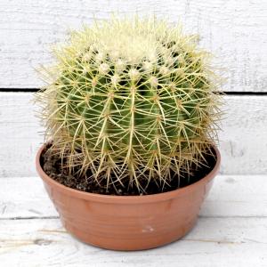 купить большой кактус минск