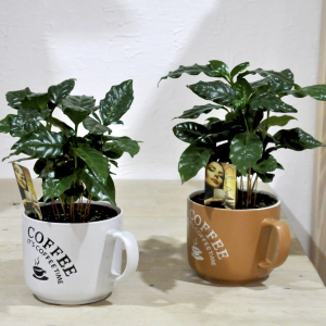 купить кофейное дерево в минске