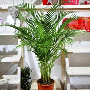 купить пальму минск