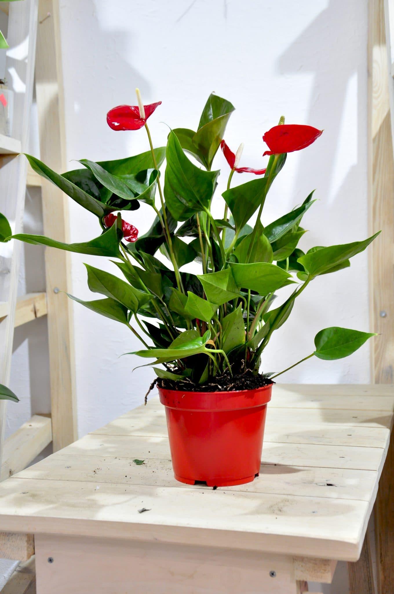 Комнатные цветы купить в минске, домодедово оптом букеты