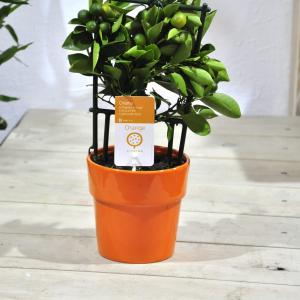 купить мандариновое дерево минск
