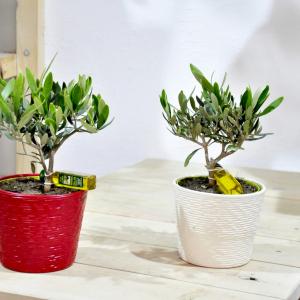 купиить оливковое дерево минск