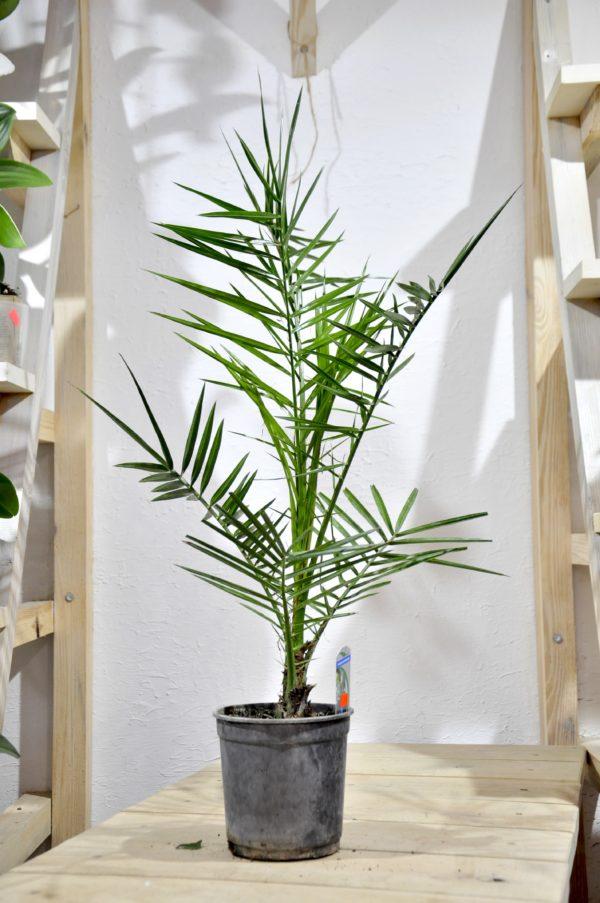 купить финиковую пальму в минске