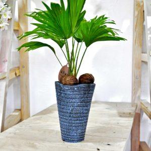 купить пальму ливингстон в минске