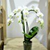 купить орхидею в минске