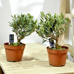 купить оливковое дерево в минске
