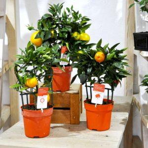 купить апельсин в минске