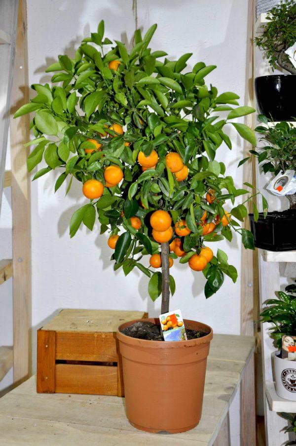 купить мандариновое дерево в минске
