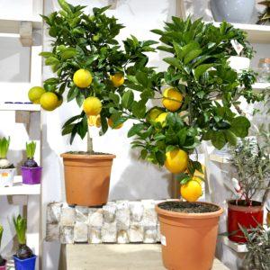 Купить апельсиновое дерево минск