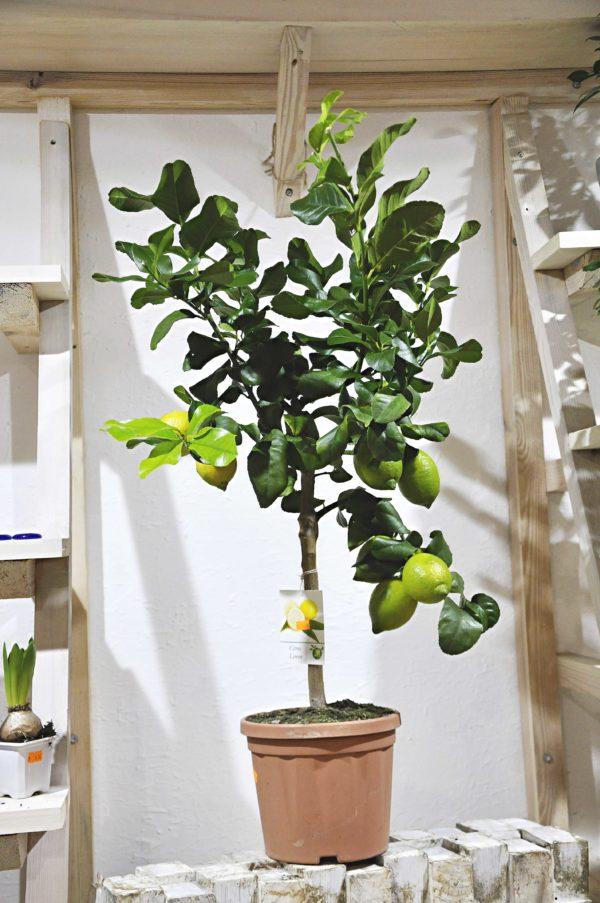 купить лимонное дерево минск