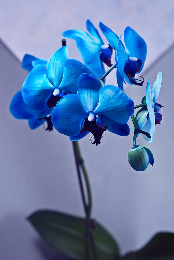 купить синюю орхидею в минске