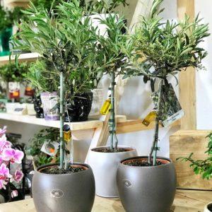 купить оливковое дерево минск