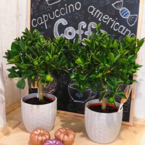 купить цитрусовое цитрусовое дерево минск