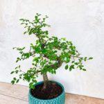 Бонсай Zelkova parvifolia