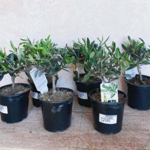 оливковое дерево купить минск