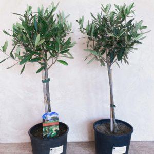 оливковое дерево минск