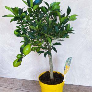 купить цитрусовое дерево минск
