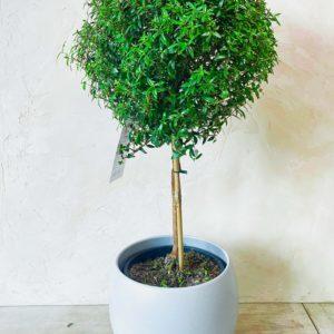 купить миртовое дерево минск