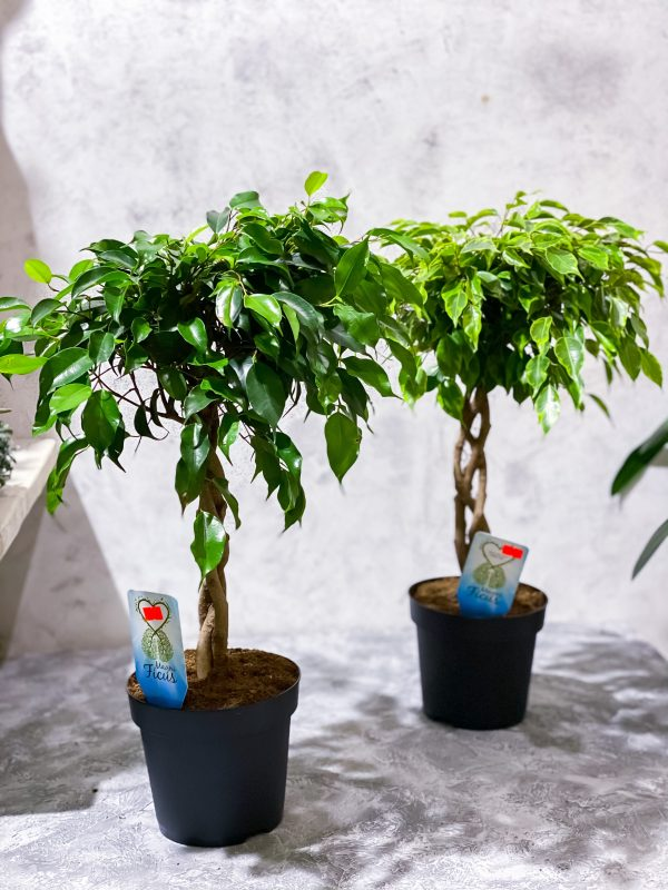 купить дерево фикус в минске
