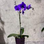 Орхидея фаленопсис фиолетовый
