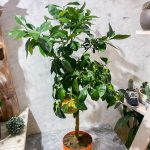 Цитруовое дерево Грейпфрут