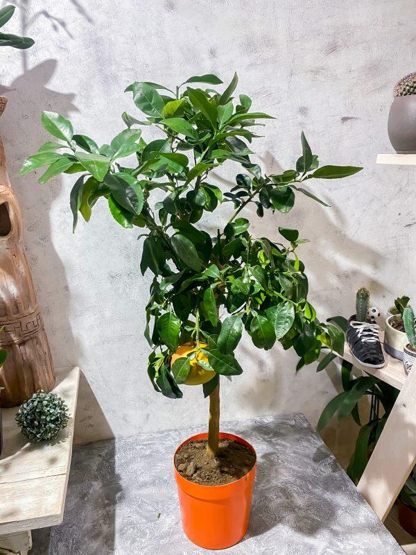 Цитрусовое дерево купить в минске