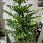Араукария heterophylla