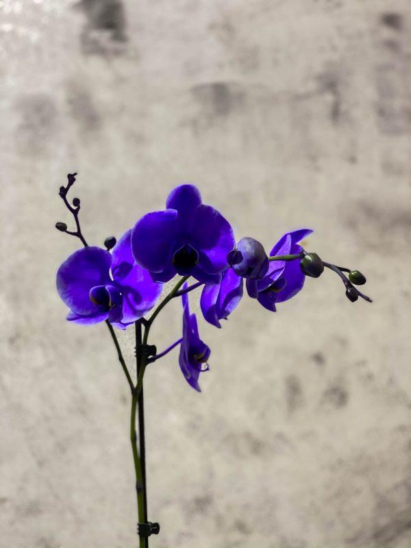 Орхидея фаленопсис фиолетовая