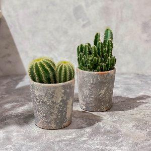 купить кактус в минске